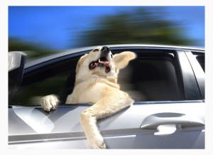 перевозки собаки в машине и ее последствия уборка , шерсть и грязь